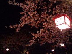 080413_sakura_600_60